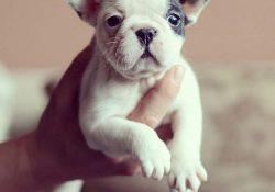 Satılık köpek Fransız bulldog