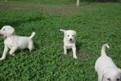 Satılık köpek Gaziantep