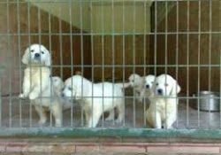 Satılık köpek Eskişehir