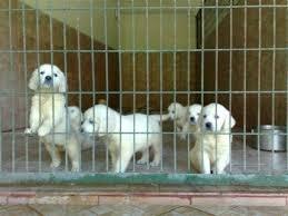 Satılık köpek cinsleri satışı