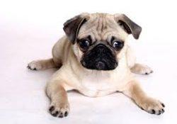 Satılık Cins Yavru Köpekler