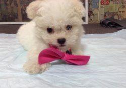 Köpek Eğitimi Bichon Frise